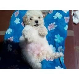 Poodle toy fêmea