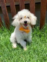 Lindo Machinho de Poodle Disponível