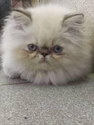 Gato persa puros