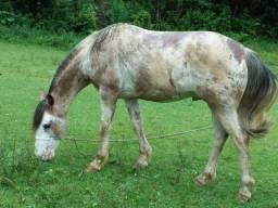 Cavalo crioulo  bom de laço