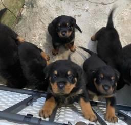 lindos filhotes de Rottweiler *