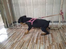 Femia da raça rottweiler pura os pais no local