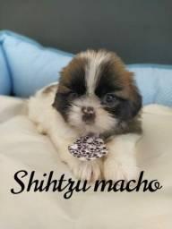 Shih Tzu filhotes disponíveis na Espaço Vet