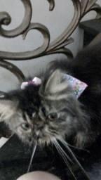 Vendo gata persa top show