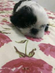 Oferta - Linda filhote de Shih-Tzu fêmea whats (82) 9 9671-0455 Pet Dog
