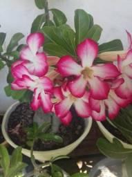 Rosas do deserto lindíssimas, mais de 500 especies