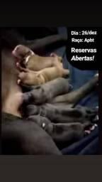 Lindos filhotes de pitbull