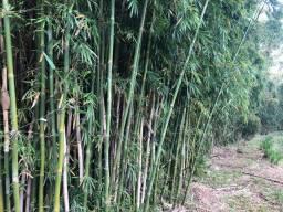 Bambu cortado verde