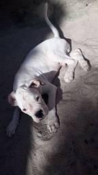 Vendo cão raça boxer