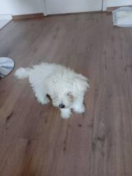 Doa-se Poodle Toy de 2 meses