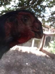 Galinha bico curto é frango bico curto.
