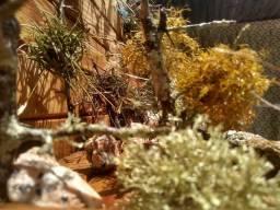 Líquens para terrario