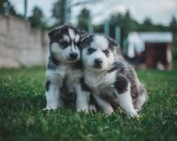 Husky Siberiano, machinhos e fêmeas com garantias de vida e saúde