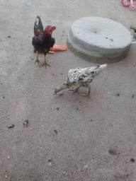 Galo galinha franga