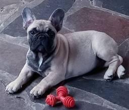 Bulldog Francês macho - Excelente padrão e porte - Último disponível
