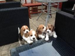 Beagle mine pedigree garantia de saude