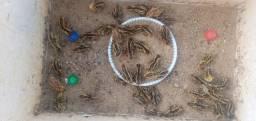 Vendo lindos hamster siberiano Codornas e pintos de anos