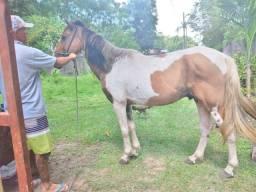 Venda-se um cavalo da raça pampa castrado, ele tem apenas 5 anos, ele nao marcha