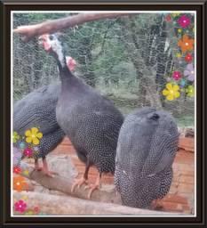 Ovos galados galinha D' Angola
