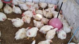 Vendo galinhas de corte.
