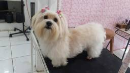 Vendo Pet Lhasa Apso