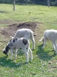 Ovelhas guachas machinho