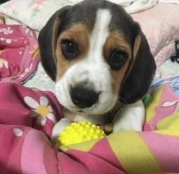 Beagle machos e fêmeas perfeitos