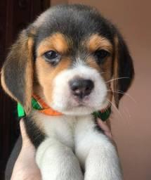 Beagle Macho com garantia de vida e pureza em contrato