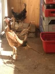vendo uma galinha de raça e um galo rodilan rodilan