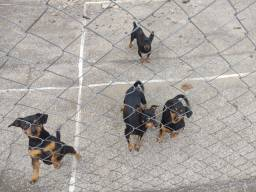 Doa 4 cadelas Pinscher