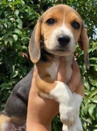 Beagle - filhotes disponiveis !!!!