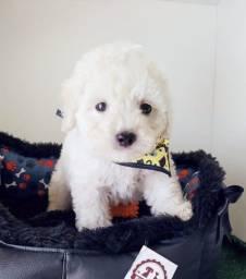 Poodle disponível macho/fêmea