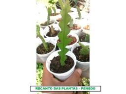 Revenda Cactos/Suculentas etc