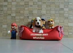 Beagle filhotes disponíveis para você!! :)(