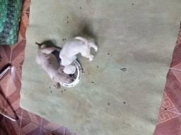 Filhote de labrador