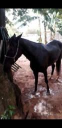 Egua mestiça argentina