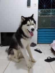 Husky a procura de uma namorada