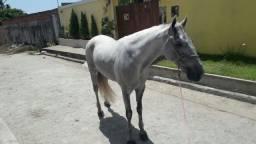 Cavalo mestiço de manga larga