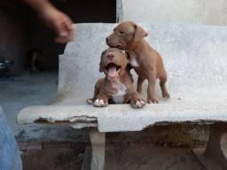 Filhote de pitbull puros