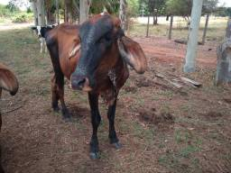 Vaca / novilha