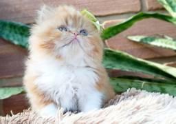 Gato Persa Fêmea Belíssima