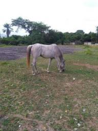 Cavalo QM puro