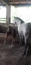Vende-se égua mangalarga registrada