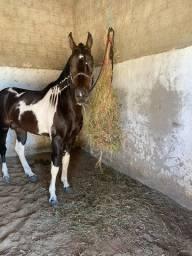 Cavalo mangalarga marchador registado