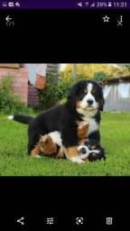 Bernadete mountaim o cão  cais dócil  que existe