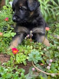 Vende-se filhote de pastor alemão capa preta