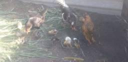 2 galinhas 2 frangos e 1 galo