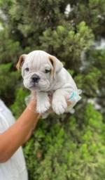 Bulldog Inglês Pronta Entrega!