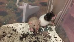 Ratinho de laboratório