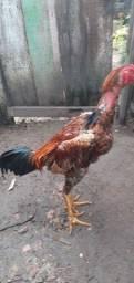 Vendo dois frangos carioca